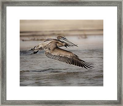 Pelican In The Air Framed Print