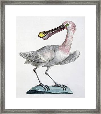 Pelican Framed Print by Italian School