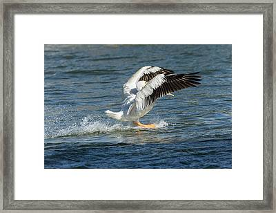 Pelican Landing 2016 Framed Print by Thomas Young