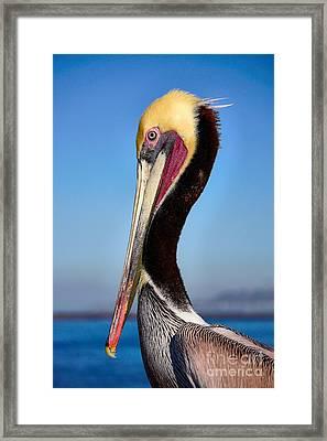 Pelican Looking Framed Print