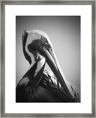 Pelican Framed Print by Megan Verzoni