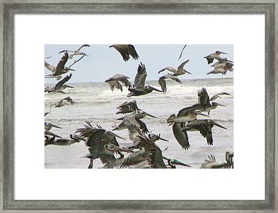 Framed Print featuring the photograph Pelican Migration  by Pamela Patch