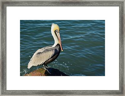 Framed Print featuring the photograph Pelican On A Rock by Bradford Martin