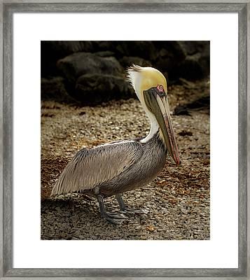 Pelican On The Rocks Framed Print by Jean Noren