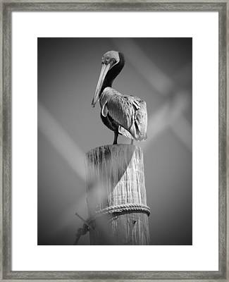 Pelican Perched Framed Print by Megan Verzoni