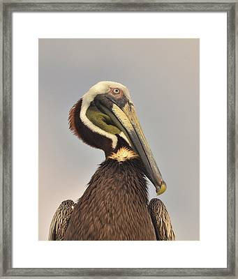 Pelican Portrait Framed Print by Nancy Landry
