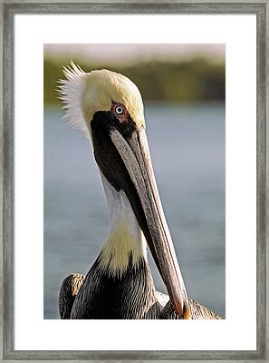 Pelican Portrait Framed Print by Sally Weigand