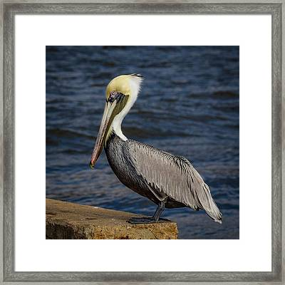 Pelican Profile 2 Framed Print by Jean Noren