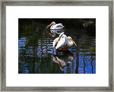 Pelican Reflections Framed Print