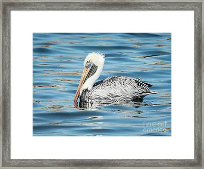 Pelican Relaxing Framed Print