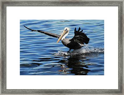 Pelican Smooth Landing Framed Print by Roger and Michele Hodgson