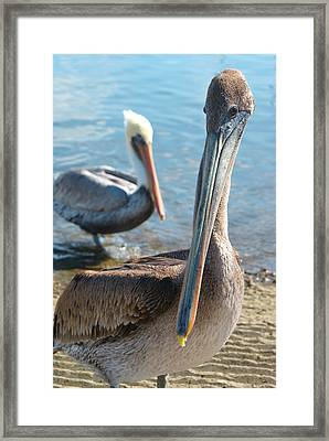 Pelican The Brave Framed Print by Ava Stepniewska PixelogyStudios