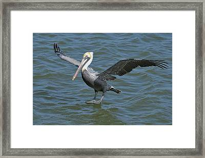 Framed Print featuring the photograph Pelican Walks On Water by Bradford Martin