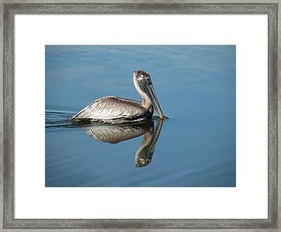 Pelican With Reflection Framed Print by Rosalie Scanlon