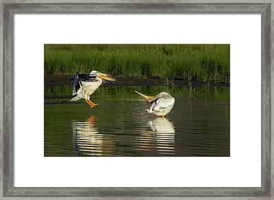 Pelicans 2 Framed Print