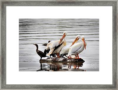 Pelicans And Cormorants Framed Print