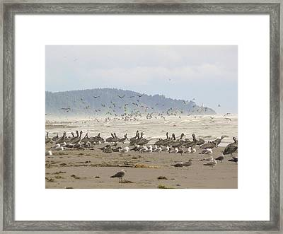 Pelicans And Gulls Framed Print by Pamela Patch