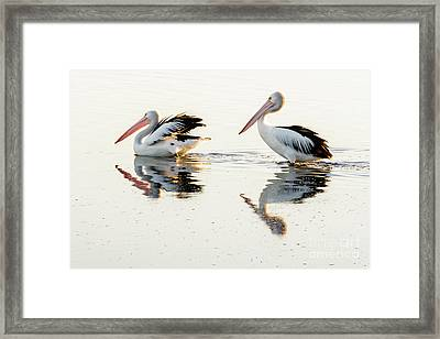 Pelicans At Dusk Framed Print by Werner Padarin