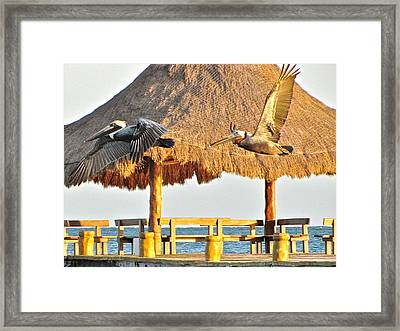 Pelicans In Flight Framed Print by Sean Griffin