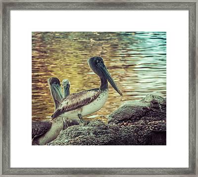 Pelicans On Rocks 3 Framed Print by Debra Forand