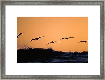 Pelicans Over The Pacific Framed Print