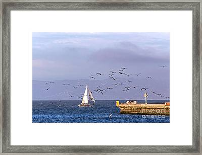 Framed Print featuring the photograph Pelicans Pelicans by Kate Brown