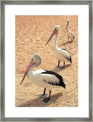 Pelicans Seriously Chillin' Framed Print