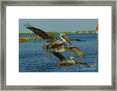 Pelicans Three Amigos Framed Print