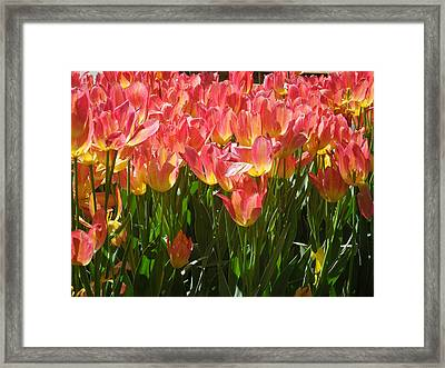 Pella Tulips Yellow Pink Framed Print