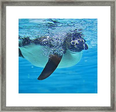 Penguin Dive Framed Print