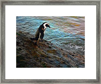 Penguin Going For A Dip Framed Print by Michael Durst