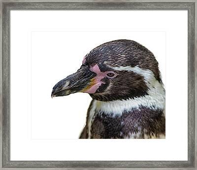 Penguin Portrait Framed Print by Martin Newman