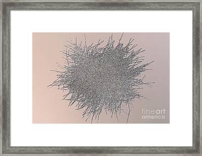 Penicillium Mold Colony Framed Print