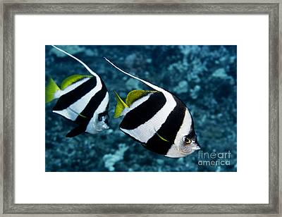 Pennant Bannerfish Framed Print by Dave Fleetham - Printscapes