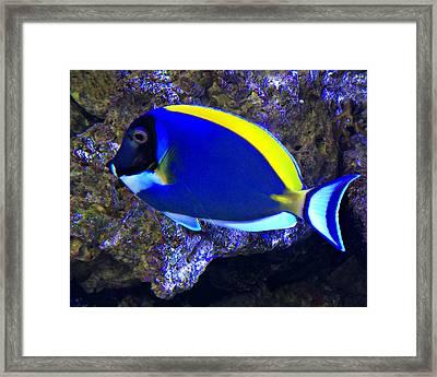 Blue Tang Fish  Framed Print by Kathy M Krause
