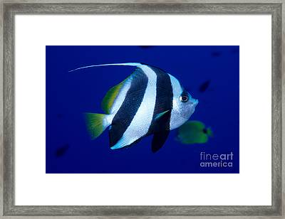 Pennant Butterflyfish Framed Print by Ed Robinson - Printscapes