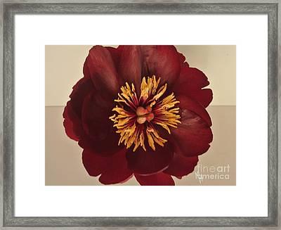 Penny Peony Framed Print by Marsha Heiken