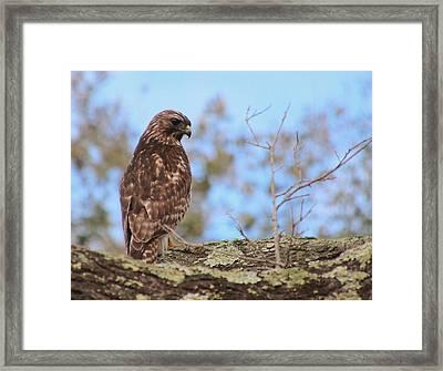Pensive Hawk Framed Print by Rosanne Jordan