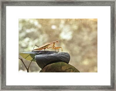 Pensive Mantis Framed Print by Douglas Barnett