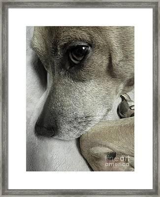 Pensive Pit Bull Framed Print
