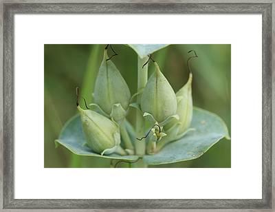 Penstemon Grandiflorus Fruit Framed Print