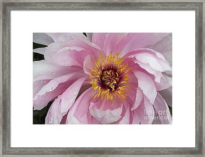 Peonie In Pink Framed Print by Deborah Benoit