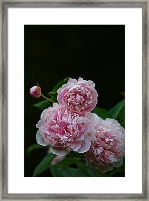 Peonies  Framed Print by Gillis Cone