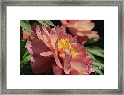 Peonies In Peach Framed Print