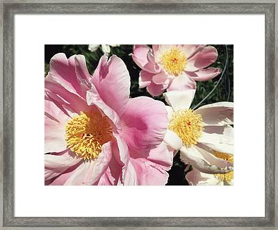 Framed Print featuring the photograph Peonies37 by Olivier Calas