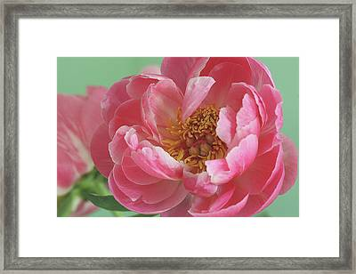Peony Framed Print by © 2011 Staci Kennelly