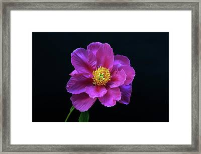 Peony - Beautiful Flowers And Decorative Foliage On The Right Is One Of The First Places Among The G Framed Print
