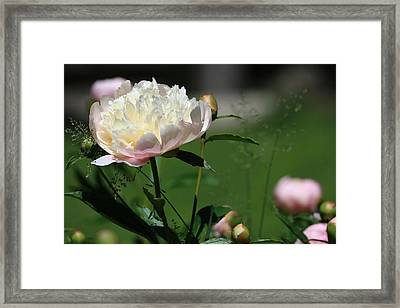 Framed Print featuring the photograph Peony Beauty by Rick Morgan