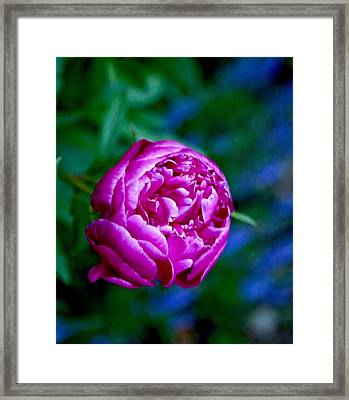 Peony Bloom Framed Print by Gillis Cone