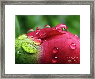 Peony Drops 2 Framed Print